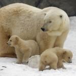 Mãe urso com filhotes na neve