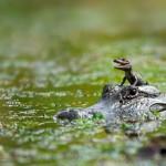 Até um dos mais ferozes animais na natureza protege seu filhote