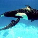 Mamãe Orca amamentando