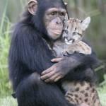 Mãe Chimpanzé adota filhote de Puma