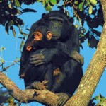 Mamãe Chimpanzé abraça seu filhote carinhosamente