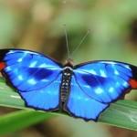 Borboleta azul