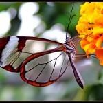 Borboleta com asas transparentes