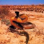 Cobra Taipan do Interior, originária da Austrália