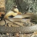 Serpente marrom