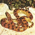 Cobra Sucuri