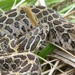 Serpente malhada