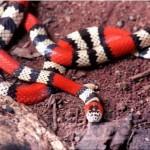 Cobra Coral Verdadeira