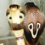 Cobra Naja