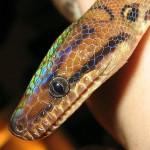 Salamanta, a cobra Arco íris