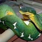 Jibóia da Amazônia