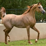 Cavalo Árabe - Filho do Vento