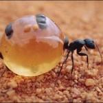 Insetos estranhos: Formiga pote de mel
