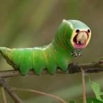 Insetos estranhos - Lagarta verde