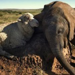 Amizade entre os animais - Elefante com Ovelha