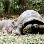 Amizade entre os animais - Filhote de Hipopótamo com Tartaruga