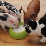 Amizade entre os animais - Gato com Porco