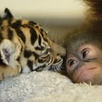 Amizade entre os animais - Tigre e Orangotango