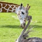 Amizade entre animais - Girafa com Avestruz