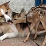 Amizade entre os animais - Cervo com Cachorro