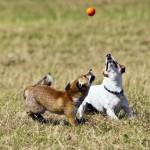 Amizade entre os animais - Raposa com Cão