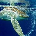 Tartaruga Marinha - Habita todos os oceanos, exceto o Oceano Antártico em zonas de água tropical e subtropical.