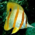Peixe Borboleta - Se alimenta de seres microssópicos ou camarões que se encontram nas fendas dos corais.