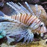 Peixe Leão - Pertence a família Scorpaenidade é um peixe marinho venenoso.