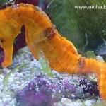 Cavalo Marinho - É um peixe ósseo da familia Syngnathidae. Existem 32 espécies diferentes.