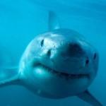 Tubarão - Encontra-se em todos os oceanos do planeta. Existem cerca de 400 espécies.