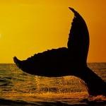 Baleia - Assim como todos os seres mamiferos, possui sangue quente e respira pelos pulmões.