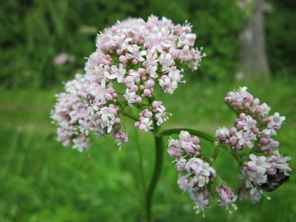 Valeriana o que é benefícios efeitos colaterais