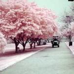 Árvores cerejeiras colorem o Inverno no Japão.