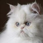 Persa - Os gatos Persas originaram-se na antiga Pérsia (atual Irã).