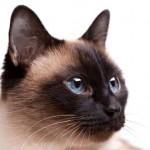 Siameses - Os gatos Siameses receberam esse nome por serem originais do antigo Sião (atual Tailândia).