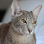 """Oriental - Apesar do nome """"Oriental"""", os gatos desta raça não têm necessariamente uma origem exótica, embora certos bichinhos descendam, de fato, do Extremo Oriente."""