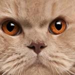 Longhair - O Longhair é o gato clássico de pelo comprido.