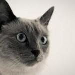Balinês - Este gato de tamanho médio tem o pelo liso, olhos azuis e orelhas grandes.