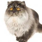 Smoke - O Smoke é um gato afetuoso e inteligente. Seu pelo é curto e denso e o subpelo é branco ou prateado claro.