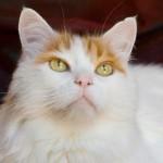 Turkish Van - Na sua Terra natal, o Turkish Van é conhecido como gato-nadador. A raça desenvolveu-se naturalmente na Turquia e é famosa por adorar água, o que é incomum num gato.