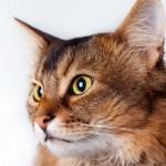 Rudy Somali - O Rudy Somali é um gato luxuoso de olhos amendoados, muito brilhantes e expressivos. Suas orelhas são grandes, pontudas e alertas.