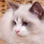 Rangdoll - O gato Ragdoll foi desenvolvido em meados dó século XX, nos Estados Unidos. Seu nome, que significa boneca de pano em inglês.
