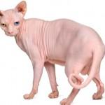 Esfinge - Famoso por não possuir pelos, esse gato é vulnerável ao frio e ao calor, podendo sofrer queimaduras solares e hipotermia.