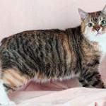 Manx - Você já viu um gato sem rabo? O gato da Ilha de Manx ou simplesmente Manx não tem rabo.