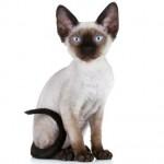 Rex - O gato Rex tem como principal característica o pêlo crespo e ondulado.