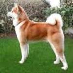 Akita: um cão afetuoso, protetor e muito corajoso.