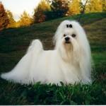 Cão Maltês - são fáceis de serem adestrados, adaptando-se facilmente ao rítmo de vida dos donos.