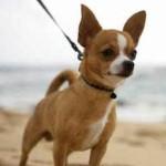 Chihuahua - possui um temperamento dócil, porém quando provocados, tornam-se nervosos e irritados.