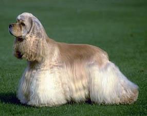 Cocker Spaniel Americano - saiba porque este cachorro de raça é um ótimo animal de estimação.
