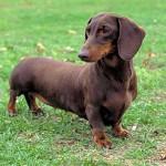 Dachshund - os cachorros desta raça são amigáveis, ciumentos e também corajosos.